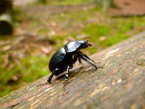 Dünyanın en güçlü hayvanı hangisidir 1) Gübre Böceği
