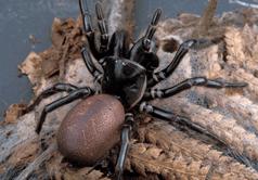 huni ağ örümceği çeşitleri