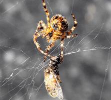 huni ağ örümceği ne ile beslenir