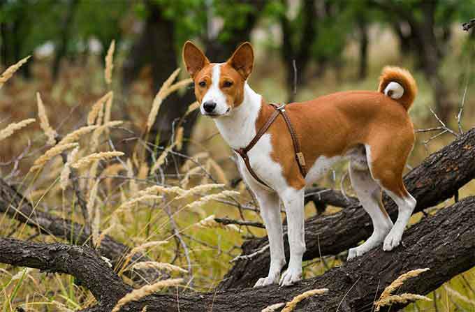 en güçlü köpekler basenji